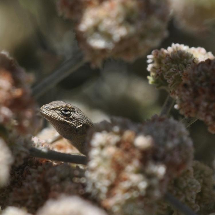Lizard Shelters in Buckwheat