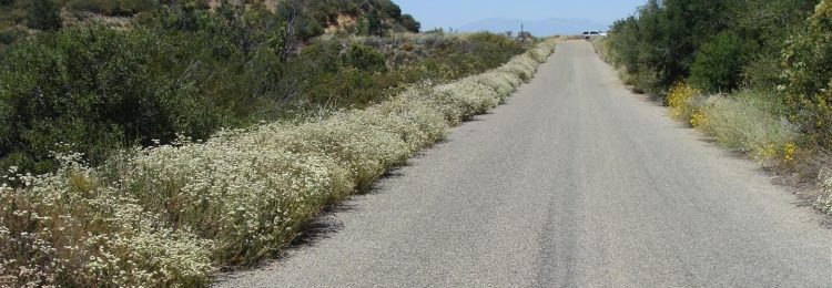 Buckwheat lines roadside