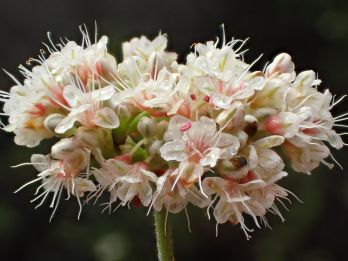 One of many clusters of blossoms on California Buckwheat. Photo by Ron Vanderhoff