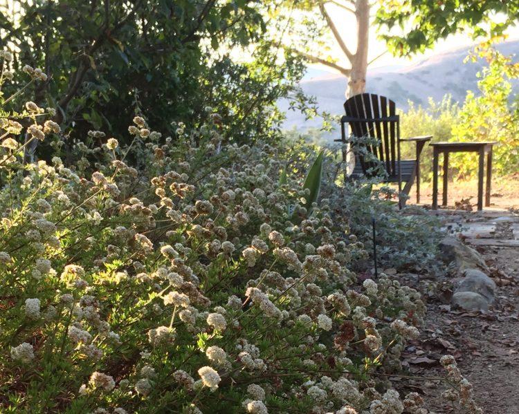 Buckwheat growing under fruit trees