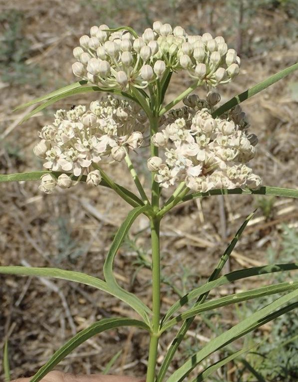 Narrow-leaf milkweed